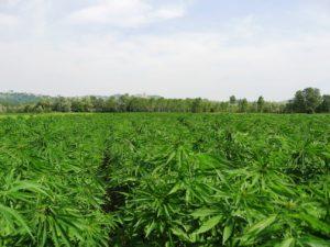 Campania Cannabis