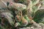 La favola dei CSC e dell'erba libera – articolo completo dal numero zero di beLeaf Magazine