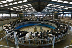 Allevamento intensivo di mucche da latte