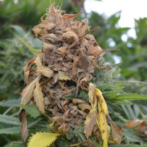 Apicale interamente da buttare; alto rischio di contaminazione per tutta la pianta