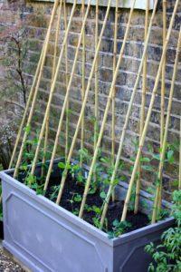 Come coltivare i fagioli in balcone