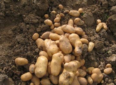 Orto in balcone: coltivare le patate