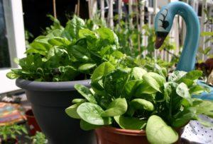 Coltivare gli spinaci in casa