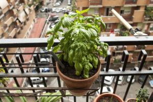 Basilico coltivato in balcone