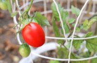 Fertilizzazione dei pomodori nell'orto