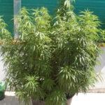 Coltivazione, la sfortuna del principiante - Be Leaf - Cannabis Mag