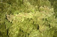 Il primo raccolto di Cannabis Sativa del 2017: i fiori
