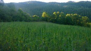 analisi - thc e cbd - canapoil terreno