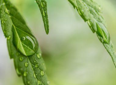Cannabis Terapeutica - Efficacia nella cura delle patologie