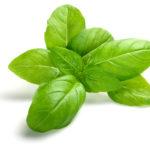 Piante aromatiche - Basilico