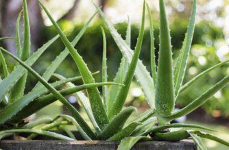 Aloe Vera, la pianta del miracolo