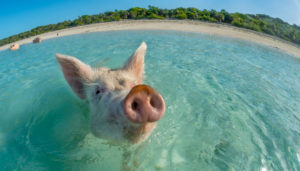 Vegan - Bahamas - Maiali