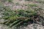 Furti, atti vandalici e razzie: il quotidiano calvario di un agricoltore di canapa