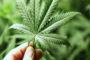Cannabis light in ufficio? Ecco la storia di una giovane azienda di Rimini